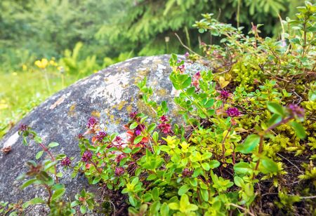 Wild Thyme on rock in natural environment of european Alps Zdjęcie Seryjne