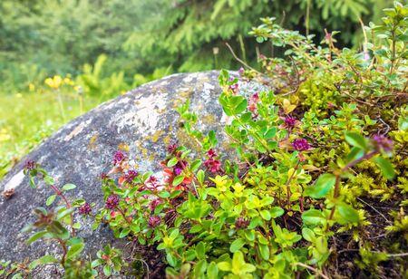 Wild Thyme on rock in natural environment of european Alps Stok Fotoğraf