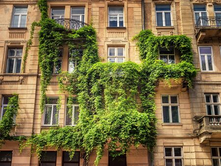 Facade of historical building in Lviv, Ukraine overgrown with climbing plant