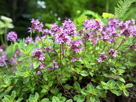 Thyme wild herb blossom with pink flowers in Carpathian forest