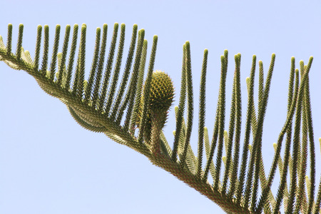 foetus: Araucaria tree branch with foetus on a background of blue sky Stock Photo