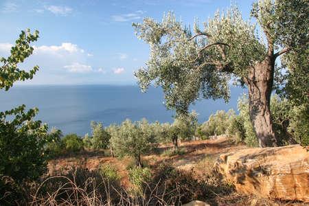 Olive trees on the slopes of Mount Athos. Greece Foto de archivo