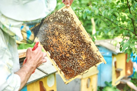 apiculture: Beekeeper working in his apiary holding honeycomb frame