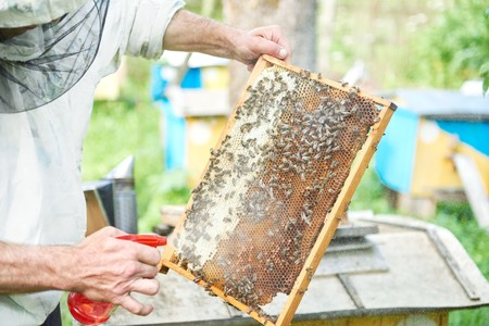Beekeeper working in his apiary holding honeycomb frame