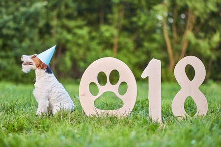 greet card: Shot of a healthy beautiful wire fox terrier dog sitting in the par wearing party hat resting near 2018 wooden numbers Chinese new year of the dog celebration greeting concept.