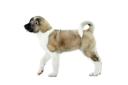 Cute fluffy american akita s puppy with white and brown fur