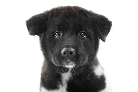 A black fluffy american s akita puppy looks at the camera.
