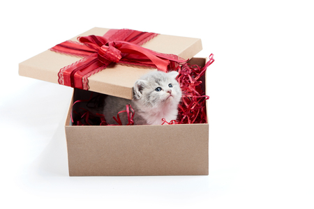 Little grey fluffy cute kitten sitting inside cardboard box with red birthday box on top being present for special occasion