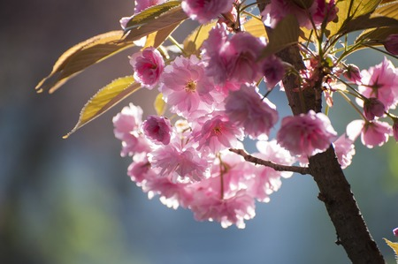 Photo of pink Sakuras flowers, which blooming during spring. Beatiful, tender flowers of exotic tree photographed on grey natural background.