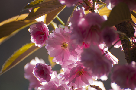 Close up of pink shadowed Sakuras flowers, which blooming during spring. Beatiful, tender flowers of exotic tree photographed on grey natural background. Foto de archivo