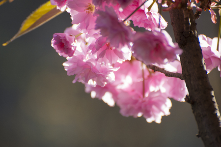 Close up of beatiful pink Sakuras flowers, blooming in spring on in rays of sun. Beatiful, tender flowers of exotic tree photographed on grey natural background.