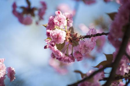 Close up of beatiful pink Sakuras flowers, blooming in spring on blue sky background. Beatiful, tender flowers of exotic tree. Amazing, wonderful nature. Foto de archivo