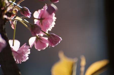 Foto original de las tiernas flores rosadas de Sakuras, que florecen durante la primavera. Hermosas y tiernas flores de árbol exótico fotografiadas sobre fondo gris natural.