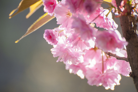 Close up of pink Sakuras flowers, which blooming during springon in rays of sun. Beatiful, tender flowers of exotic tree photographed on grey natural background.