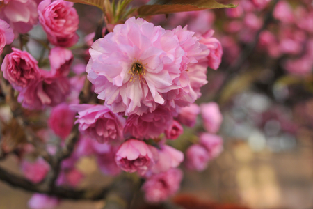 Close up of beatiful pink Sakuras flowers, blooming in spring sunny day. Beatiful, tender flowers of exotic tree photographed on grey natural background. Foto de archivo