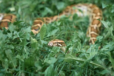 Creepy snake lying in meadow and greenery of garden. Scary phyton creeping.