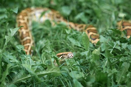 One serpent, snake creeping and crowling outdoors. Phyton lying in greenery in garden. Reklamní fotografie