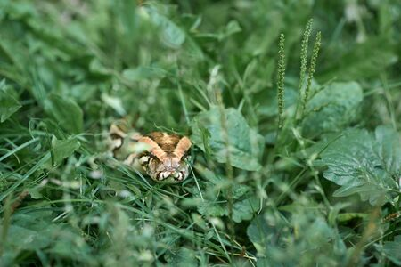 Front view of dangerous, scary snake creeping and crawling. Phyton lying on greenery of garden.