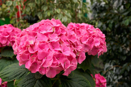 Close up of beautiful pink hydrangea on green plants background. Concept of care for flowers and plants with different colors in modern greenhouse.