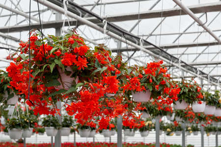 Close up of pots with beautiful red flowers in modern large greenhouse. Concept of blooming incredible flowers red color in glass modern hothouse with climate control. 版權商用圖片