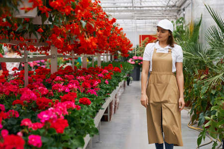 Front view of young charming woman in special uniform walking in large modern greenhouse and checking flowerspot. Concept of process care for beautiful different colors flowers.