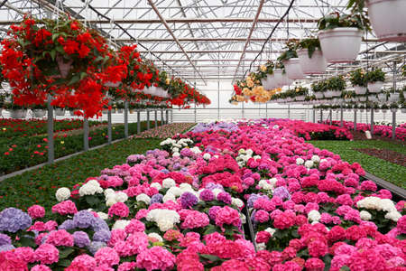 Front view of large light greenhouse with a lot of seedlings and flowers. Pink, red, yellow and green plants. Concept of modern greenhouse with climate control system for cultivation of flowers.