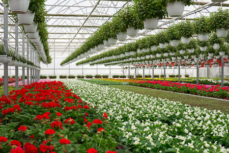 Front view of large glass greenhouse with flowers. Growing flowers in greenhouses. Interior of a modern flower greenhouse. Flowers in flowerpots. Concept of care for beautiful plants. 版權商用圖片