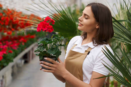 Side view of charming woman holding pot with red flower while standing at greenhouse. Female worker in apron arranging plants at orangery. 版權商用圖片