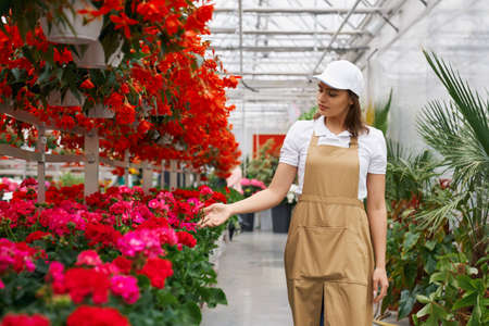 Young woman in apron controlling growth of colorful flowers at orangery. Female florist with brown hair cultivating various plants at greenhouse.
