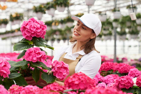 Competent female gardener in cap and apron checking and controlling growth of hydrangea at greenhouse. Pleasant woman enjoying favoriete work with plants.