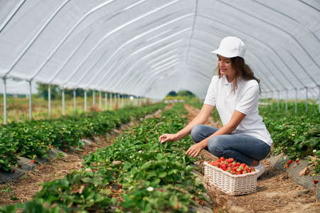Side view of squatting female wearing white cap is picking strawberries in white basket. Beautiful brunette is harvesting strawberries in greenhouse. Concept of farming.