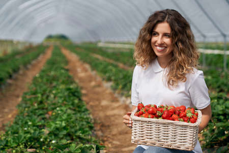 Front view of beautiful female is holding big basket with strawberries. Curly brunette is posing with just picked strawberries in greenhouse and smiling. Concept of plantation work.