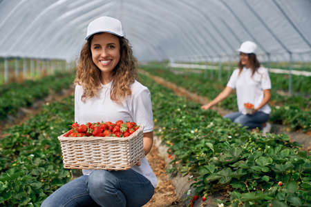 Front view of two squatting women wearing white caps are harvesting strawberries . Two smiling females are posing with basket of just picked strawberries in greenhouse . Concept of harvest. 版權商用圖片
