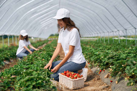 Side view of squatting women wearing white caps are picking strawberries in white basket. Two brunettes are harvesting strawberries in greenhouse. Concept of plantation.