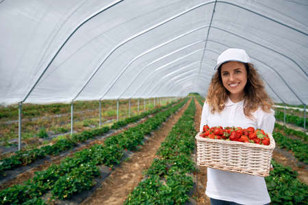 Front view of beautiful female wearing white cap and holding big basket with strawberries. Curly brunette is harvesting strawberries in greenhouse and smiling. Concept of plantation work.
