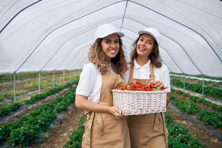 Front view of two beautiful females wearing white caps and aprons are holding big basket of fresh strawberries. Two brunettes are harvesting strawberries in greenhouse and smiling.
