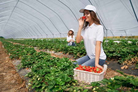 Side view of two squatting women wearing white caps are picking strawberries . Two beautiful females are harvesting strawberries in greenhouse and smelling it. Concept of field work.