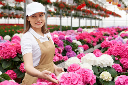 Beautiful female florist in cap and apron examining condition of colorful hydrangea in pots. Young woman arranging plants at huge greenhouse.