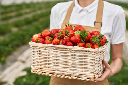 Close up of wicker basket full of fresh ripe strawberries that holding young woman in hands. Female gardener in apron cultivating seasonal fruits at greenhouse. 版權商用圖片