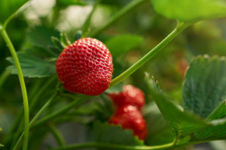 Close up of fresh ripe strawberries cultivated at greenhouse for selling. Sweet red berries at farm field. Gardening concept.