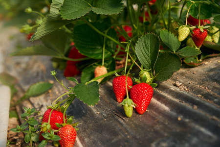 Organic bushes with sweet strawberries growing at farm field. Plantation of sweet seasonal berries. Greenhouse with plants.