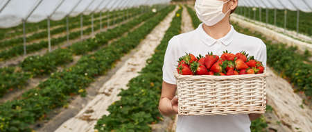 Close up of female field worker holding wicker basket with fresh ripe strawberries. Young caucasian woman wearing medical protective mask. Concept of pandemic and harvesting. 版權商用圖片