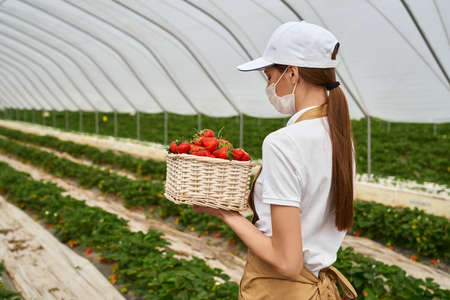 Young female farmer in medical mask posing at greenhouse with wicker basket full of freshly picked strawberries. Pandemic time. Gardening concept.