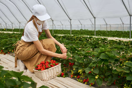 Young squatting woman picking ripe strawberries into wicker basket at greenhouse. Female gardener wearing medical mask, white cap and beige apron. Work during quarantine. 版權商用圖片
