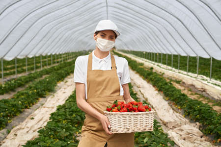 Beautiful young woman in medical face mask, white cap and apron holding wicker basket with fresh strawberries. Female gardener cultivating seasonal berries at greenhouse.