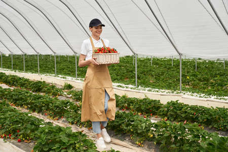 Full length portrait of smiling young woman in cap and apron carrying basket with ripe strawberries at greenhouse. Seasonal fruits and harvesting concept. 版權商用圖片