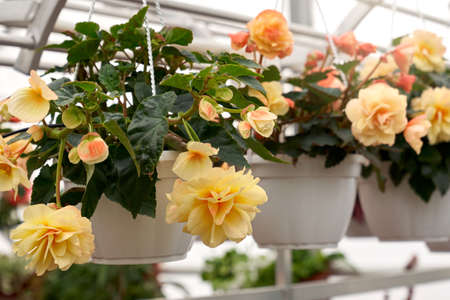 Closeup of begonia plant in a white pot with beautiful big yellow flowers and dark green leaves, photographed in greenhouse. Concept of modern large hothouse with beautiful flowers. Imagens