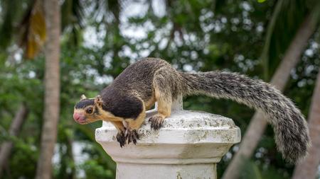 ceylon: Ratufa. Giant Ceylon Squirrel. She has a very long tail.