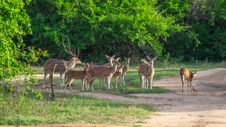Herd of deer of Ceylon. Safari in the Yala National Park.