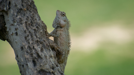 ceylon: Ceylon chameleon on the tree in the village of Koggala Sri Lanka.